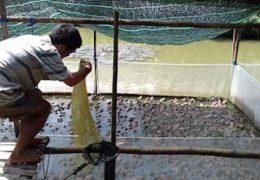 Kỹ thuật nuôi ếch trong lòng lưới kết hợp nuôi cá