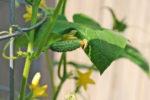 Cách trồng cây dưa leo và cách chăm sóc