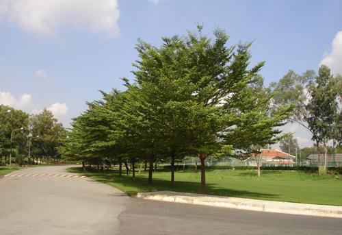 Hướng dẫn cách trồng cây bàng Đài Loan đơn giản nhất