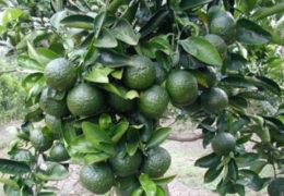 Kỹ thuật trồng cam mậtcho năng suất cao