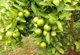 Cách trồng cây chanh cho ra quả trĩu nặng