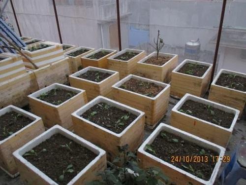 trồng cây ngải cứu