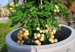 Kỹ thuật trồng cây nhãn cho ra quả nhiều