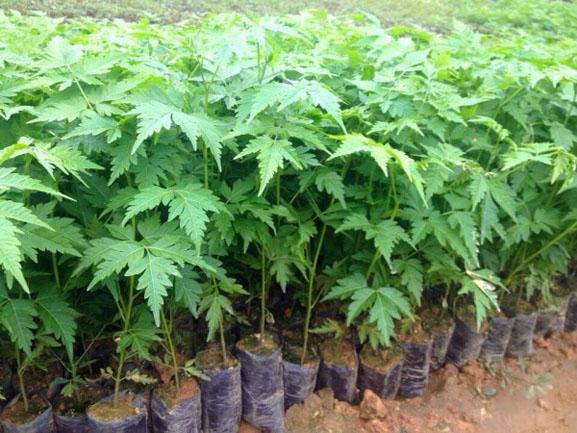 Cách trồng cây xoan đào và những lưu ý khi trồng