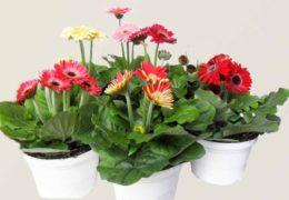 Cách trồng hoa đồng tiền trong chậu cho hoa đẹp rực rỡ