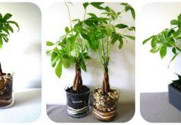 Cách trồng và chăm sóc cây kim ngân cho cả năm may mắn về tiền bạc