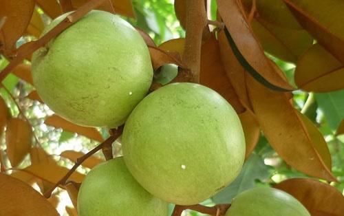 Cách trồng và chăm sóc cây vú sữa