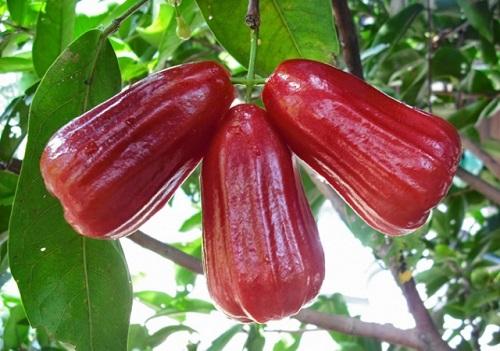 Cách trồng và phòng trừ sâu bệnh cho cây roi đỏ Thái Lan