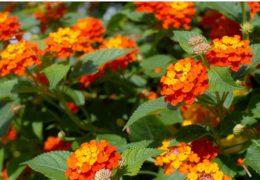 Cách trồng hoa ngũ sắc làm cảnh quan rực rỡ