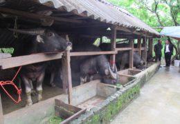 Mô hình chăn nuôi trâu thành công