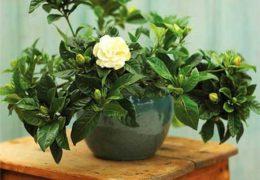 Chia sẻ cách trồng cây dành dành chuẩn xác nhất