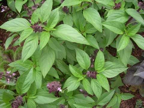 Chia sẻ cách trồng cây húng quế tại nhà