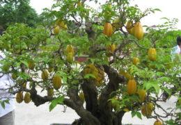 Chia sẻ cách trồng cây khế trong chậu cảnh