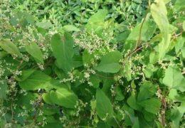 Chia sẻ cách trồng và chăm sóc cây hà thủ ô đỏ