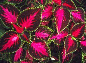 cách trồng và chăm sóc cây lá gấm