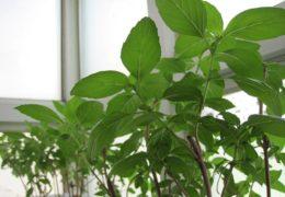 Chia sẻ kinh nghiệm trồng cây quế trong vườn ươm hiệu quả nhất