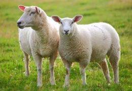 Kỹ thuật chăn nuôi cừu thu lại lãi nhanh
