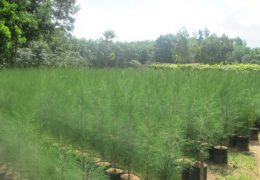 Điều kiện và quy trình trồng cây phi lao