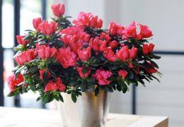 Cách trồng và chăm sóc hoa đỗ quyên mùa tết