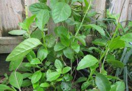 Hướng dẫn cách trồng cây kim thất tai