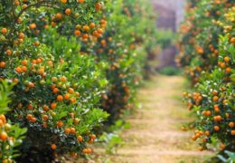 Kinh nghiệm trồng và chăm sóc cây quất tươi tốt quanh năm
