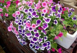 Cách trồng hoa dạ yến thảo ra nhiều hoa