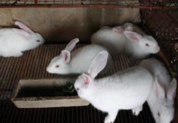 Kỹ thuật chăn nuôi thỏ thịt tại nhà cải thiện kinh tế cho người dân