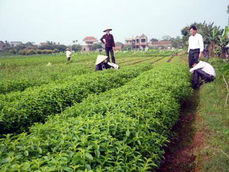cách trồng cây cỏ ngọt
