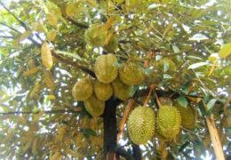 Kỹ thuật trồng sầu riêng đúng để đạt năng suất cao