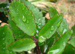 Trồng cây sống đời (lá bỏng) như thế nào để cây luôn tươi tốt?