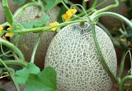 Cách trồng dưa lưới tại nhà đơn giản trong thùng sốp