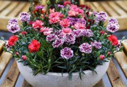 Cách trồng và chăm sóc hoa cẩm chướng