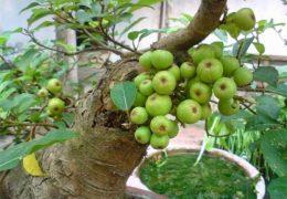 Bí quyết trồng cây sung cảnh ra quả