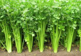 Những cây rau cần tây xanh mướt khi được trồng đúng cách