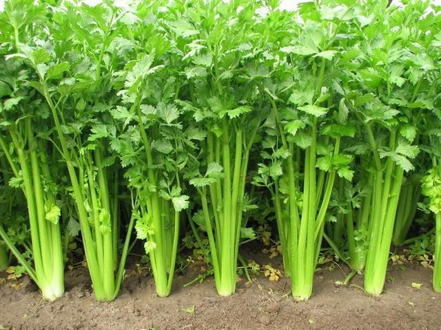 cach trồng rau cần tây