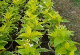 Lựa chọn vị trí trồng cây ô rô là nơi có nhiều nắng
