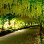 Hướng dẫn chi tiết cách trồng cây Osaka vàng
