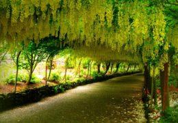 Cây Osaka vàng thường được trồng làm cảnh