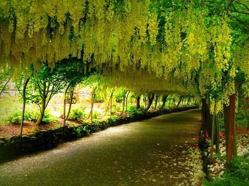 cách trồng cây osaka vàng