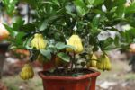 Chi tiết cách trồng cây Phật thủ và chăm sóc cây quanh năm