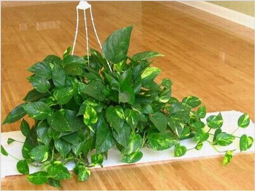Cách trồng cây vạn niên thanh trong nhà