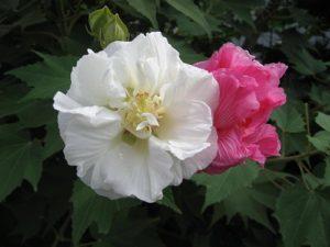 cách trồng hoa phù dung