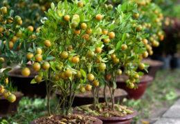 Cách trồng và chăm sóc quất ra nhiều quả để chơi tết