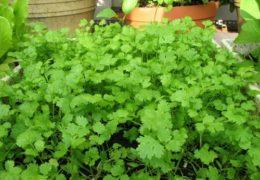 Bí quyết trồng cây rau mùi cho cây phát triển tươi tốt