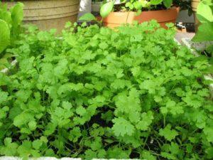cách trồng cây rau mùi