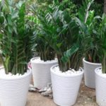 Ý nghĩa phong thủy và cách chăm sóc cây Kim Ngân Lượng