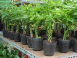 Cách trồng cây kim tiền cho tài lộc vào nhà