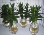 Cách trồng và chăm sóc cây phát tài trong nước