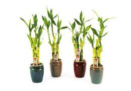 Cách trồng cây phát tài xanh tươi quanh năm
