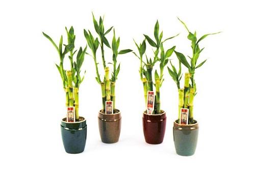 Cách trồng cây phát tài